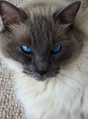 Gitty, the ragdoll with the blue eyes