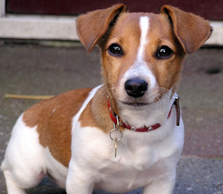 Jack Russell Terrier - The Best Breed