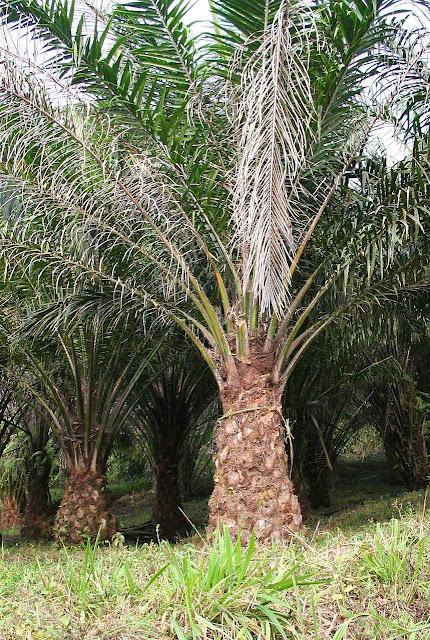 Árvore de óleo de palma, ou dendê, (Elaeis guineensis), decretada inimigo da planeta pelo ditatorialismo ambientalista