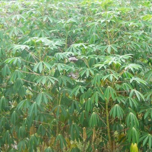 Florida Survival Gardening: Survival Plant Profile ...
