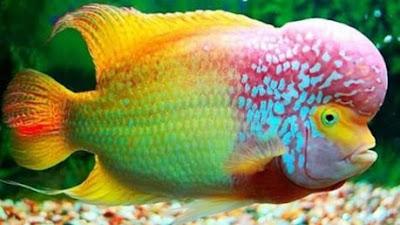 gambar ikan louhan kontes