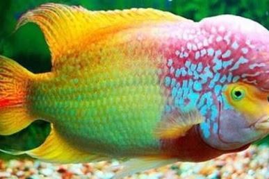 Cara Budidaya Ikan Louhan Menggunakan Akuarium