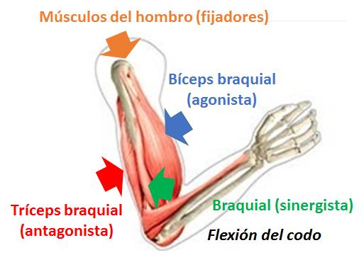 definición musculatura antagonista y agonista