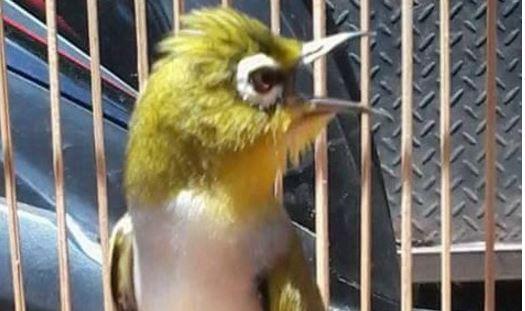 Rekomendasi Suara Burung Isian Untuk Pleci