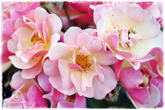 die schönsten und besten Rosen für den Garten sammeln - Rose Jazz - Gartenblog Topfgartenwelt
