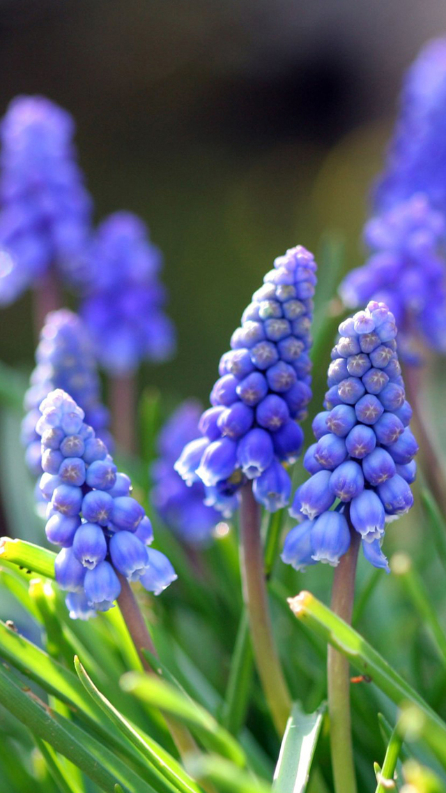 Free Download Spring Flower 2013 iPhone 5 HD Wallpapers | Free HD Wallpapers for Your iPhone and ...