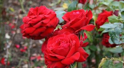 Tanaman Hias Mawar (Rosa canina)