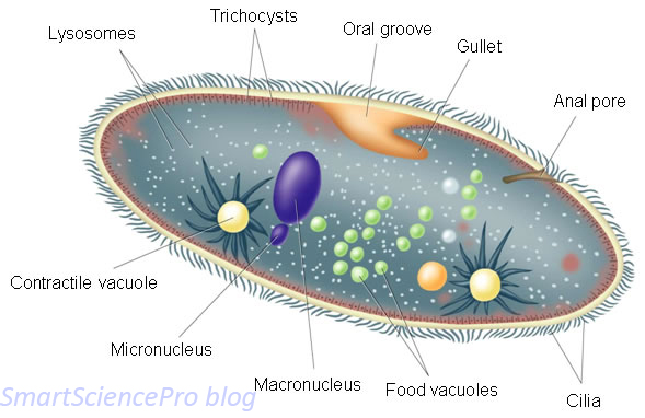 relationship between vesicles and vacuoles structure