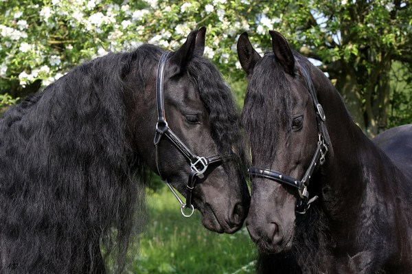 Two Black Horses Together Image in Full HD