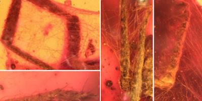For 100 million years, amber freezes a tableau of tick's worst day ever