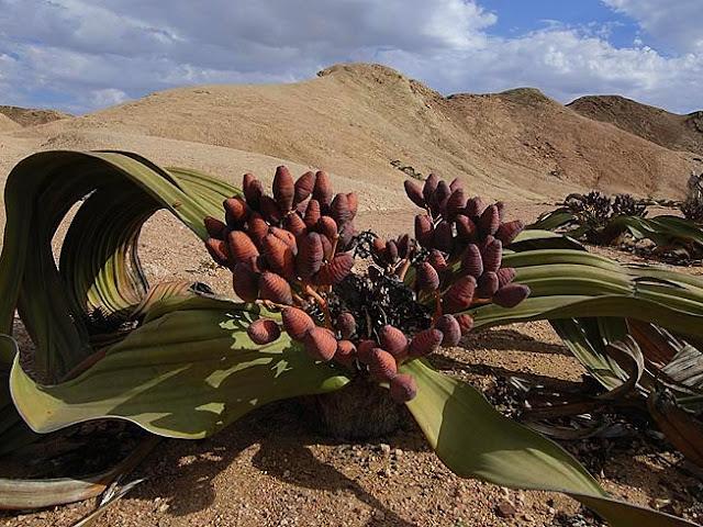 Fiori Welwitschia mirabilis