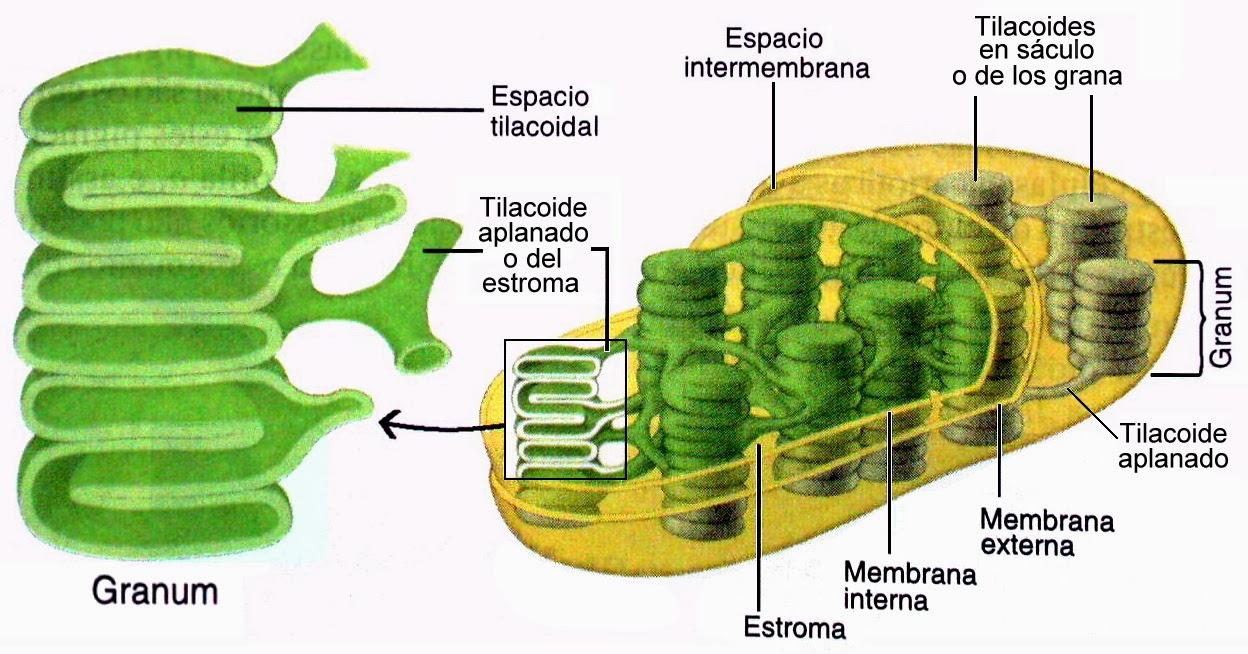 Función del cloroplasto