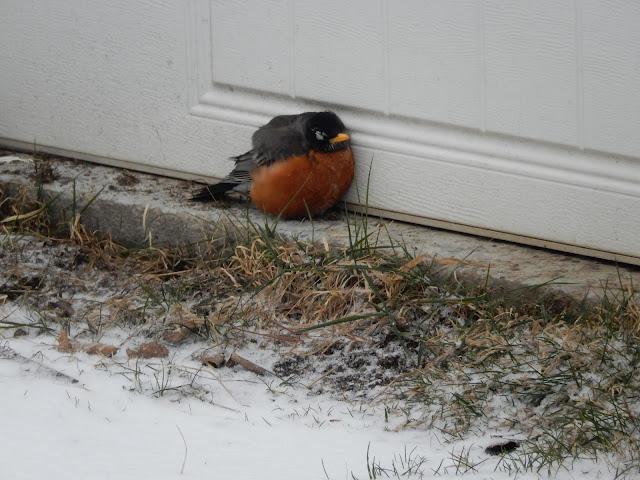 Shivering Robin