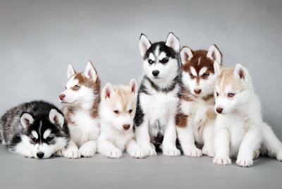 cachorro informativo: cores - husky siberiano