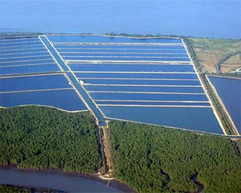Shrimp aquaculture is 100 eco friendly