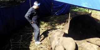seekor gajah sumatera mati