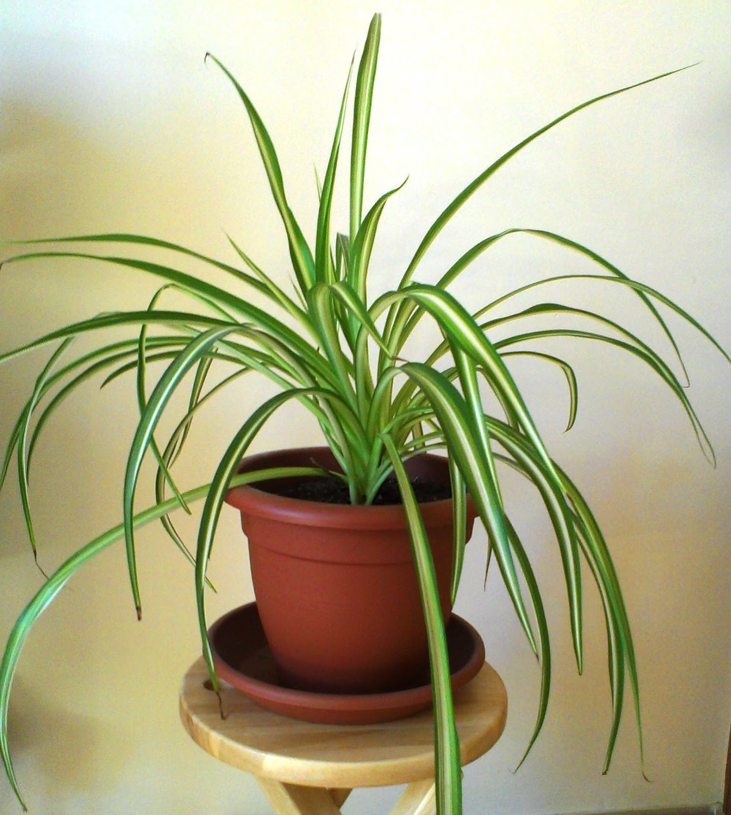 les plantes de peg chlrorophytum comosum plante araign e. Black Bedroom Furniture Sets. Home Design Ideas