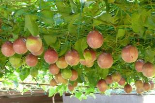manfaat buah markisa untuk wajah