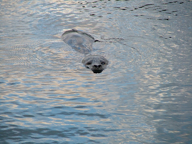 Seal begging at Friday Harbor