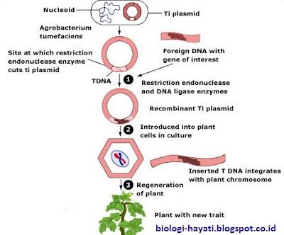 Kultur protoplasma