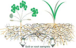 mikoriza akar