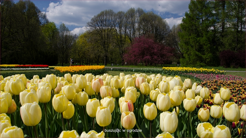tulipany, botanik