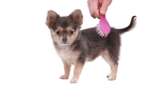 are chihuahua hypoallergenic bishop ranch veterinary center 4566