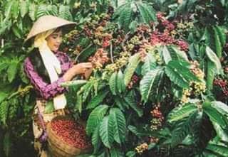 Harga kopi murah, petani menjerit