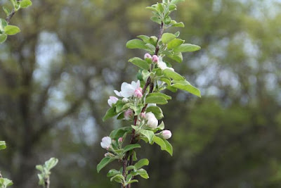 late May apple blossoms