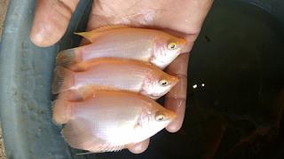 Daftar Harga Bibit Ikan Gurame Padang