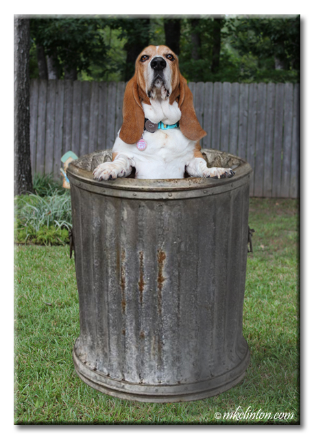 Bentley Basset Hound finds himself in the garbage can to celebrate Do a Grouch a Favor Day.