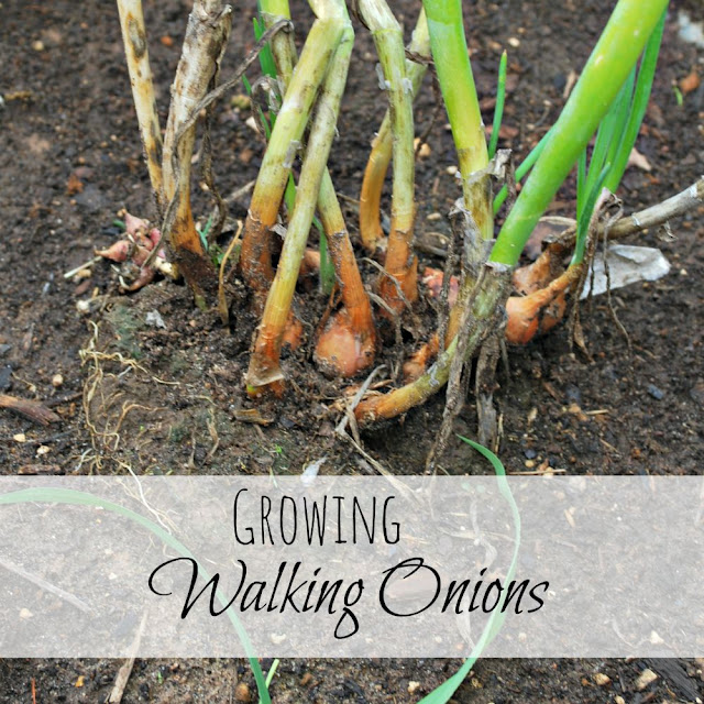 With minimal care, this perennial will keep you in onions for years to come. From Oak Hill Homestead.
