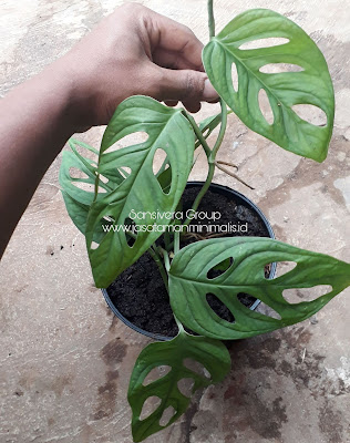 Tanaman Philodendron Swiss