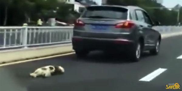 Il attache son chien à l'arrière de sa voiture et le traîne sur la route