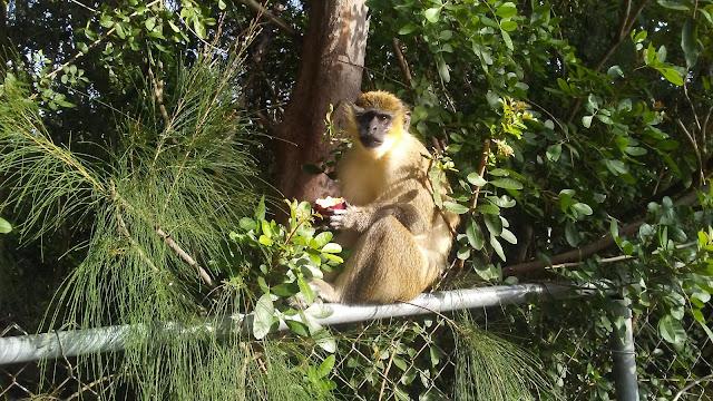 Dania Beach Vervet Monkey