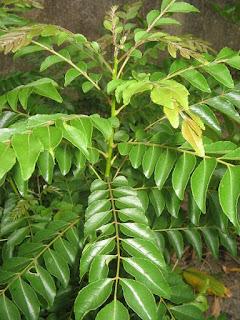 bibit-pohon-daun-kari.jpg