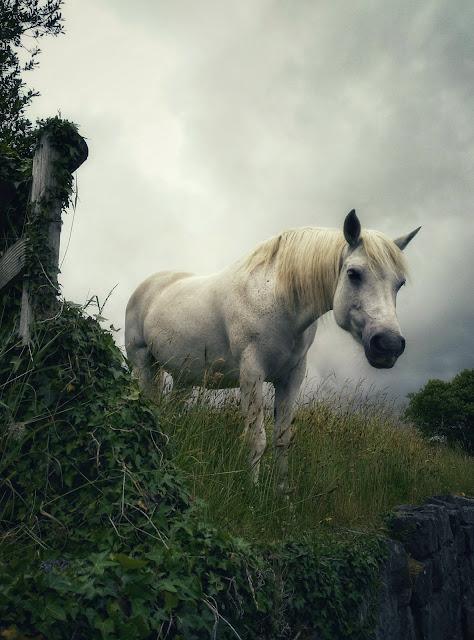 Connemara pony, Connemara, Ireland