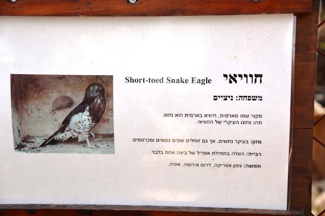 short toes snake eagle