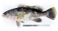 Lahos ya da lahoz balığının yandan görünüşü