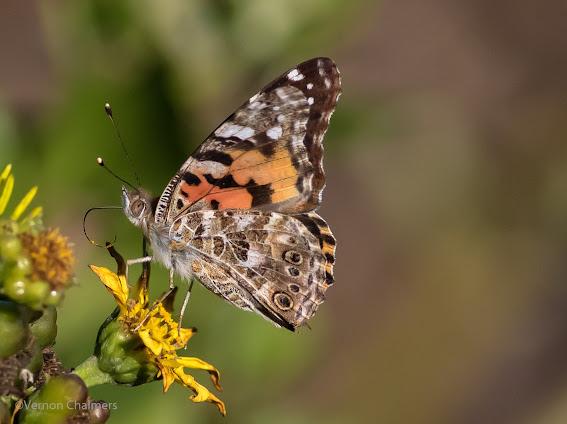 Butterfly Woodbridge Island : Canon EOS 7D Mark II / 400mm Lens