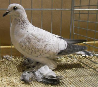 color  pigeons - muffed pigeons