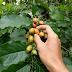Jual Bibit Kacang Amazon Harga Murah