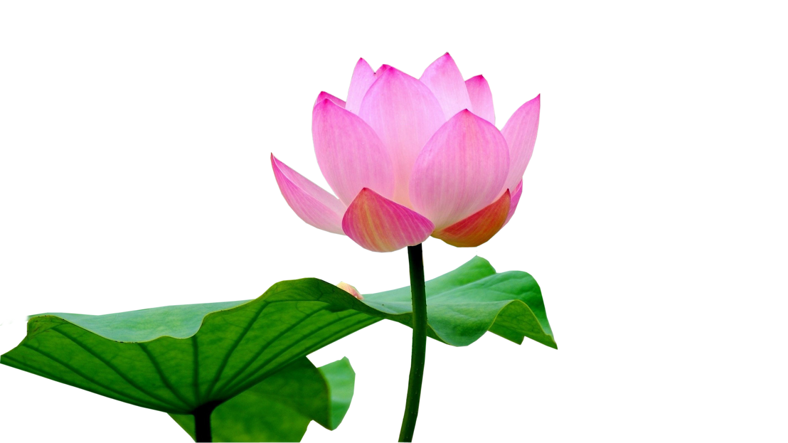 Lotus Flower Design Wall Paper : Photo frames wallpapers designs lotus