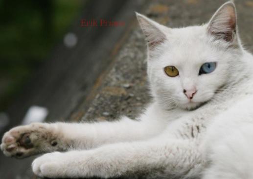 Ternyata Inilah 10 Ciri Ciri Ras Kucing Anggora Yang Asli