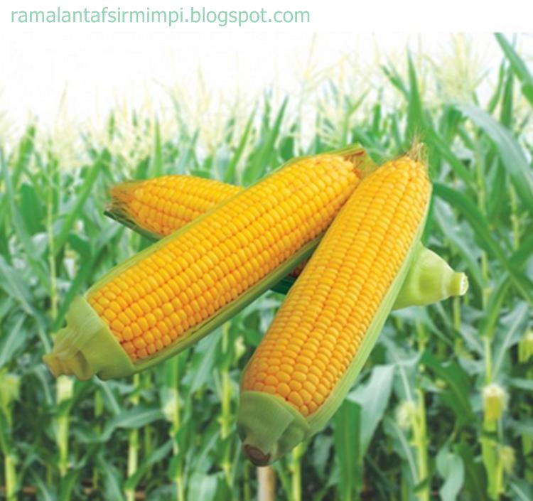 Tanaman jagung adalah merupakan tanaman salah satu dari tiga besar tanaman pangan yang be 8 Arti Mimpi Makan Jagung Bakar Menurut Primbon Jawa