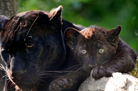 BABIES and Beautiful Mom: BABY BLACK PANTHER - photo#9