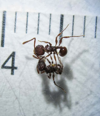 Pristomyrmex sp