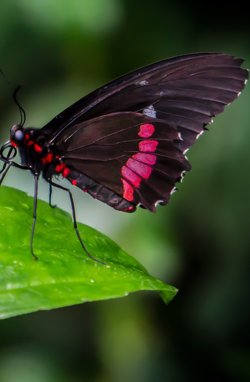 A black and red butterfly.