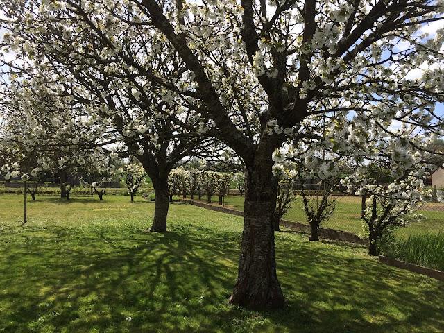 Cerisiers et Poiriers en fleurs 1