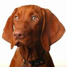Everything about your Vizsla